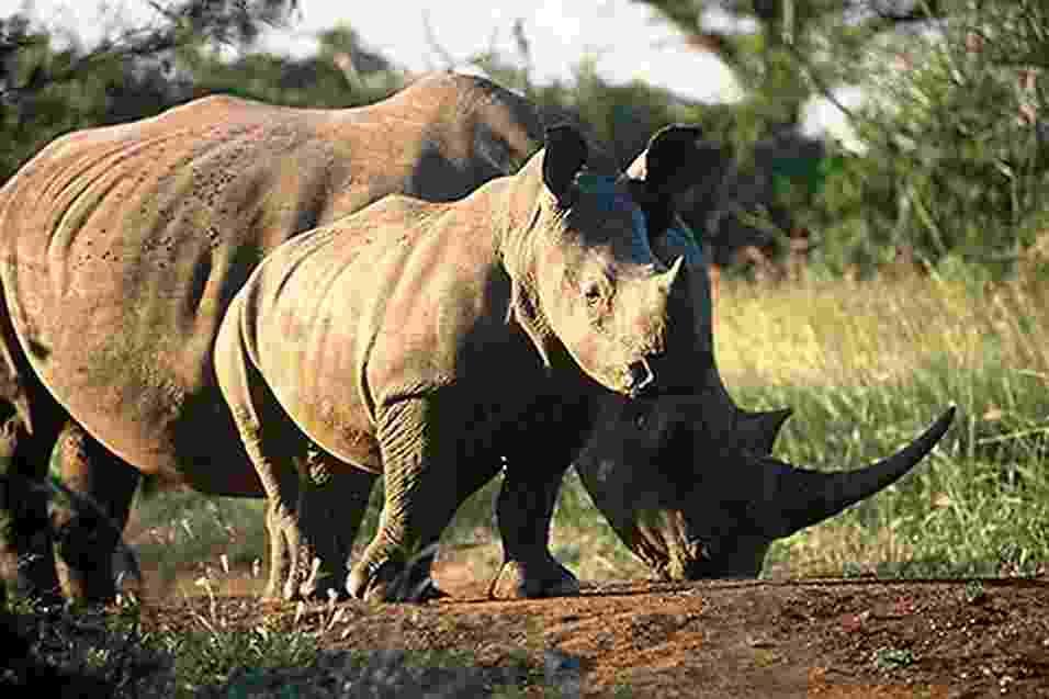 3.mai.2013 - A população de rinocerontes está extinta de Moçambique, na África, após constatada a morte dos últimos 15 indivíduos que viviam no Parque Great Limpopo, que fica na fronteira com a África do Sul e Zimbábue. Segundo os administradores da reserva ambiental, 30 dos seus guardas estão sendo investigados por facilitar a morte dos animais - Koos van der Lende/Great Limpopo Transfrontier Park