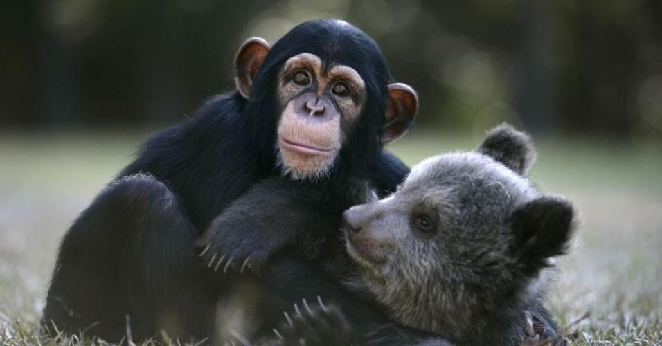 5.mai.2013 - O urso-cinza Bam Bam e o chimpanzé Vali se tornaram bons amigos em um zoológico da Carolina do Sul, nos Estados Unidos