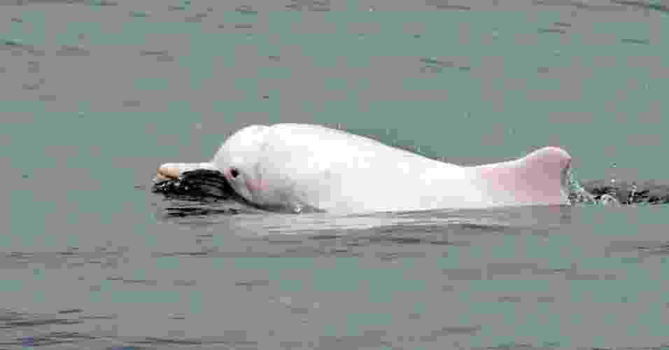 6.mai.2013 - Organizações de proteção de animais alertaram nesta segunda-feira (6) que Hong Kong pode ver ser extinta a rara espécie de golfinhos brancos chineses que vive na região. Segundo o alerta, a cidade-estado localizada na costa sul da China precisa tomar medidas urgentes contra a poluição das águas e outras ameaças para garantir a sobrevivência dos golfinhos. Segundo cálculos, a população de golfinhos da região era de 158 em 2003 e foi reduzida para 78 em 2011 - Laurent Fievet/AFP