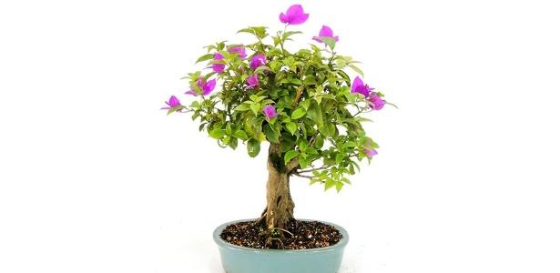 Qualquer espécie de planta pode ser submetida à técnica, que transforma árvores em miniaturas, mantendo características de flores e frutos - Divulgação