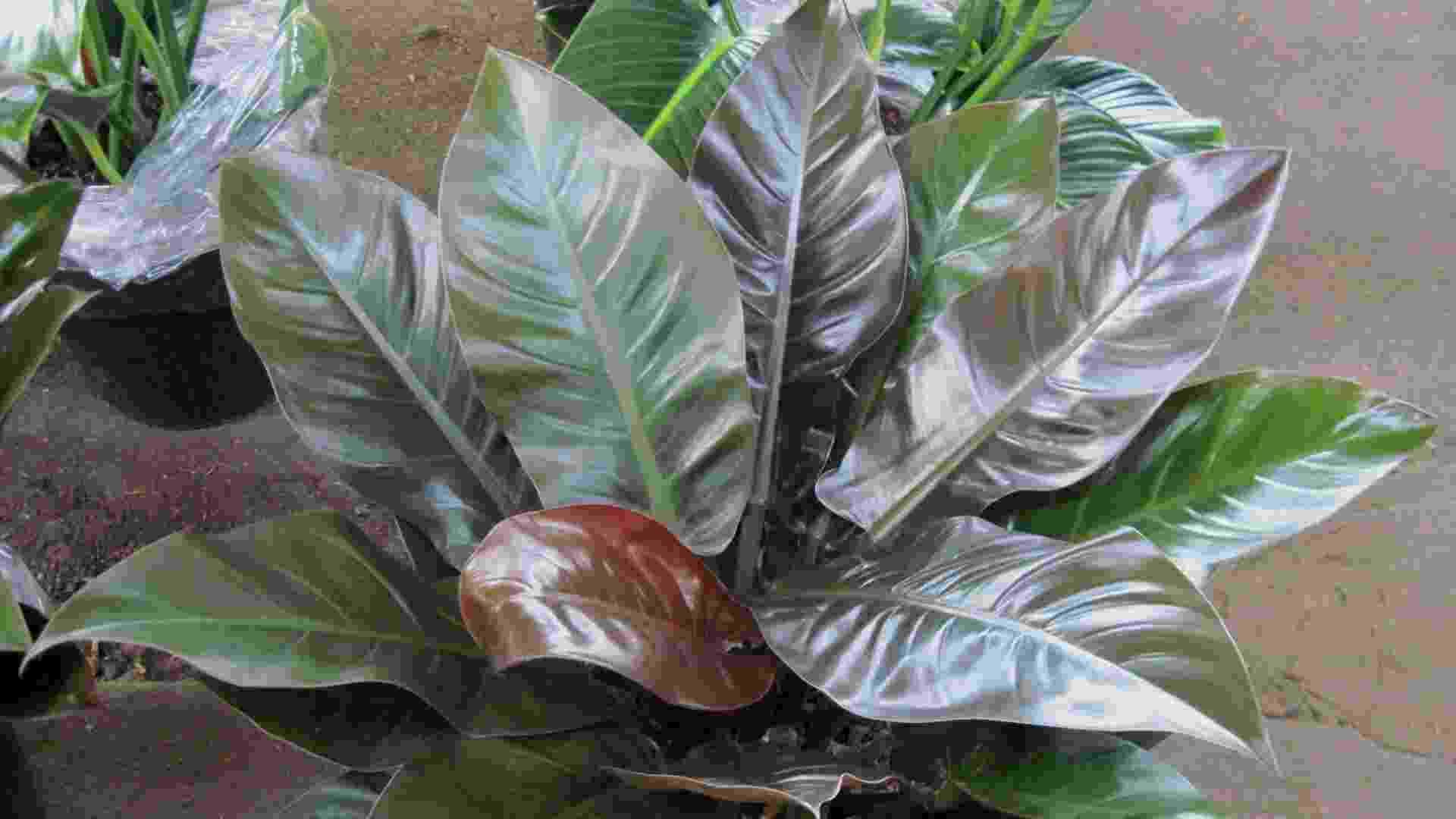 De folhagem ornamental, os filodendros, espécies do gênero Philodendron, são indicados para locais sombreados - Divulgação