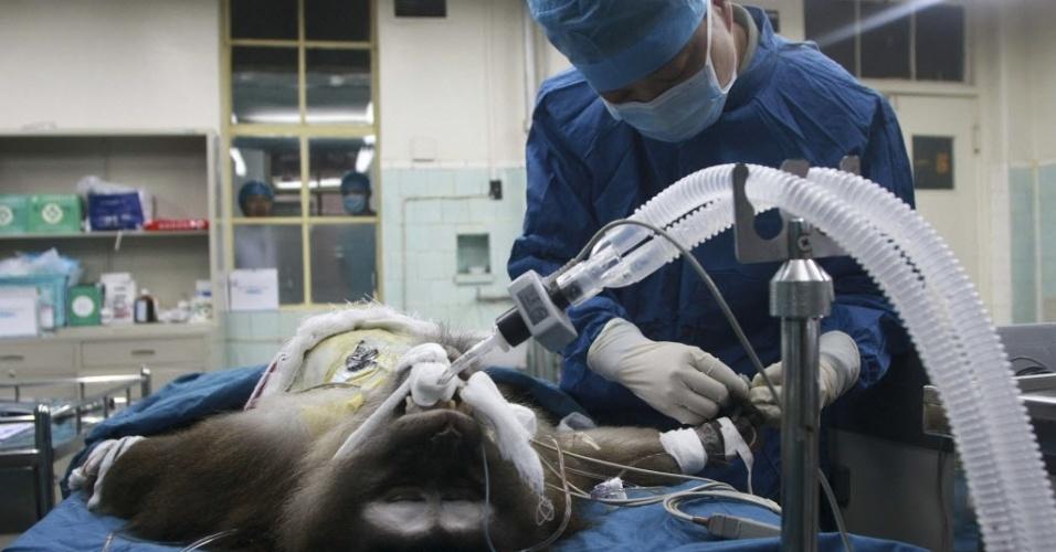 """9.mai.2013 - Um macaco tibetano recebe tratamentos na UTI (Unidade de Terapia Intensiva) de hospital militar em Xi'an, na China, após cirurgia de transplante de fígado. O macaco recebeu um fígado de um porco """"transgênico"""", concebido com modificações genéticas. Segundo os médicos e pesquisadores, a cirurgia foi um sucesso. Para os cientistas, o procedimento poderá jogar luz sobre transplantes heterogêneos de órgãos, o que permitiria solucionar problemas de falta de órgãos para humanos"""