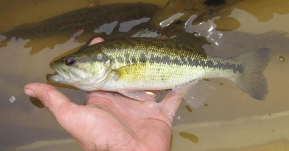 """9.mai.2013 - Uma nova espécie de peixe foi descoberta nas águas do Sudeste dos Estados Unidos, anunciou a organização Florida Fish and Wildlife durante conferência nacional do setor. Os biólogos querem batizar a nova perca de """"Choctaw"""" em homenagem ao povo indígena que habitava a região banhada pelo rio Chipola, na Flórida, onde o peixe foi descoberto em 2007. Após análises genéticas, os pesquisadores do instituto verificaram que a """"Micropterus haiaka"""" não tinha nenhum gene compatível com outra espécie de perca conhecida"""