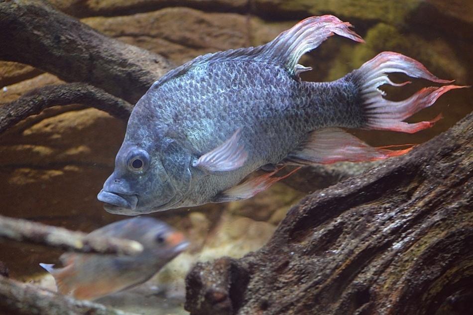 """10.mai-2013- O zoológico de Londres está procurando uma parceira para um peixe tropical em risco de extinção descrito como """"belíssimamente feio"""". O peixe """"Ptychochromis insolitus"""", da família dos ciclídeos (como o acará-disco, comum em aquários no Brasil) está extinto na natureza, mas existem três em cativeiro, dois no zoológico londrino e um em Berlim, e todos são machos"""