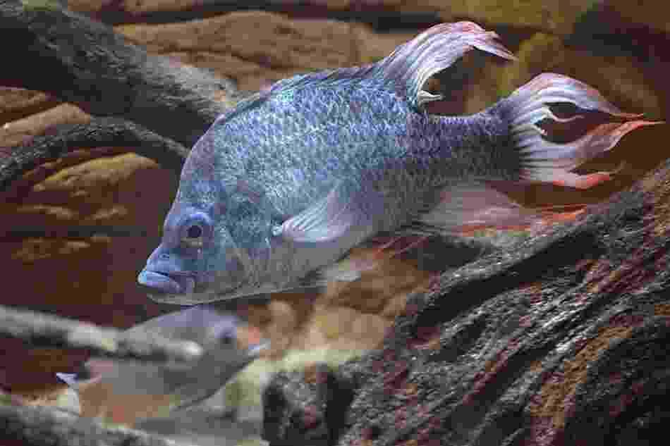 """10.mai-2013- O zoológico de Londres está procurando uma parceira para um peixe tropical em risco de extinção descrito como """"belíssimamente feio"""". O peixe """"Ptychochromis insolitus"""", da família dos ciclídeos (como o acará-disco, comum em aquários no Brasil) está extinto na natureza, mas existem três em cativeiro, dois no zoológico londrino e um em Berlim, e todos são machos - Zoological Society of London"""