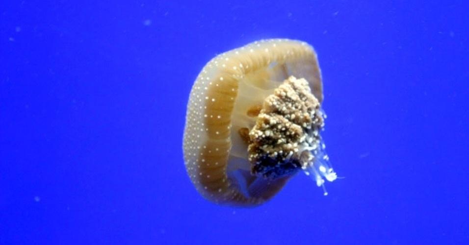 14.mai.2013 - Aquário de Ubatuba, no litoral norte de São Paulo, mostra espécie exótica de água-viva: a Phyllorhiza punctata também é conhecida como água-viva australiana manchada