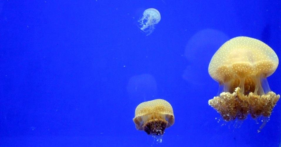 """14.mai.2013 - Segundo o oceanógrafo Hugo Gallo, diretor do Aquário de Ubatuba, quando a """"Phyllorhiza punctata"""" passa a viver longe do seu habitat, como ocorre desde 2000 quando foi achada no Golfo do México, a medusa pode causar desequilíbrio no novo ecossistema. Como ela se se alimenta de zooplâncton, ovos e larvas de espécies de peixes nativos, ela pode prejudicar a safra dos camarões da costa brasileira, por exemplo"""