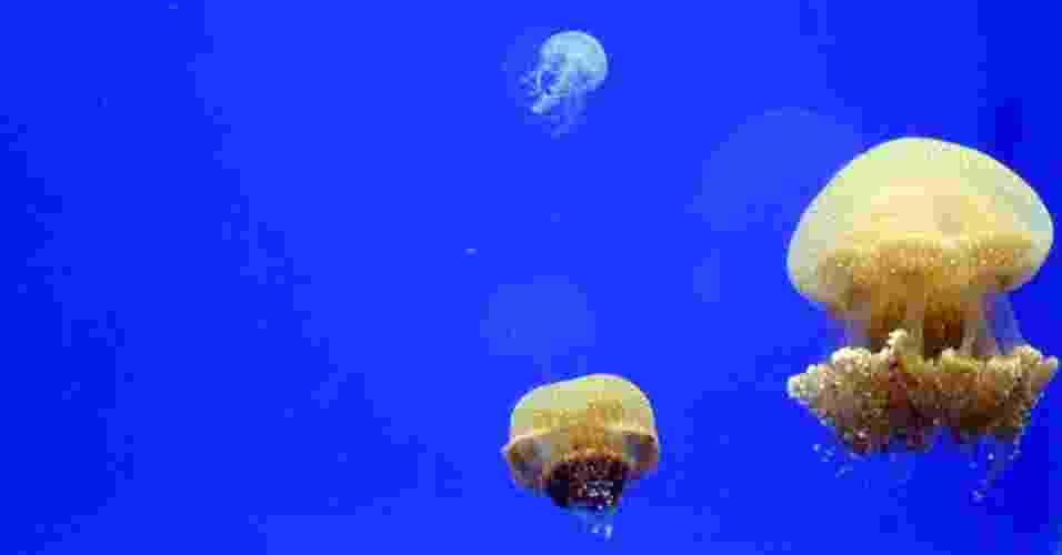 """14.mai.2013 - Segundo o oceanógrafo Hugo Gallo, diretor do Aquário de Ubatuba, quando a """"Phyllorhiza punctata"""" passa a viver longe do seu habitat, como ocorre desde 2000 quando foi achada no Golfo do México, a medusa pode causar desequilíbrio no novo ecossistema. Como ela se se alimenta de zooplâncton, ovos e larvas de espécies de peixes nativos, ela pode prejudicar a safra dos camarões da costa brasileira, por exemplo - Divulgação"""