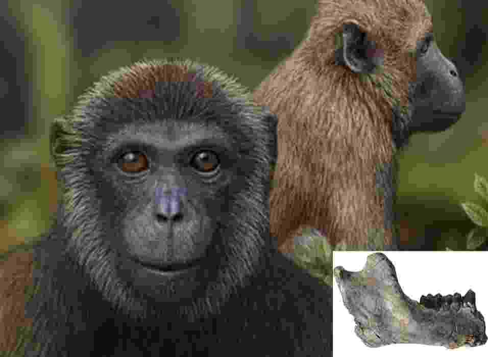 """15.mai.2013 - Equipe internacional de cientistas descobriu a evidência mais antiga da conexão entre primatas do Velho Mundo, que inclui hoje babuínos e macacos, e do Novo Mundo, grupo que deu origem a símios e hominídeos. O grupo liderado pela paleontóloga Nancy Stevens encontrou dois fósseis com mais de 25 milhões de anos na Tanzânia, na África, que preenche um enorme buraco na evolução dos primatas. A mandíbula com dentes preservados (detalhe à esquerda) pertenceu a um """"Rukwapithecus fleaglei"""", um hominídeo (no centro da ilustração), enquanto o molar era de """"Nsungwepithecus gunnelli"""", representante dos cercopitecóides (macaco com cauda), indicando a divisão entre os grupos ocorreu antes do final do Oligoceno - Mauricio Antón & Patrick O'Connor/Ohio University"""