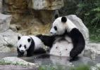 Salvos da extinção, pandas continuam ameaçados - China Daily/Reuters