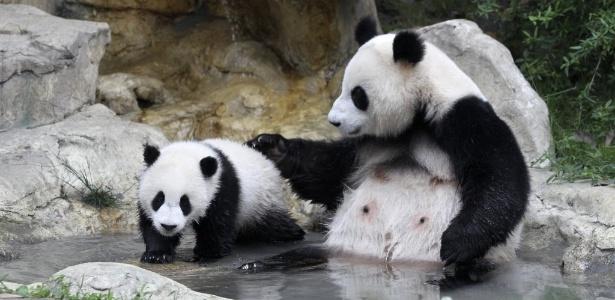 Pandas-gigantes foram tirados da lista de espécies sob risco de extinção em 2016 - China Daily/Reuters