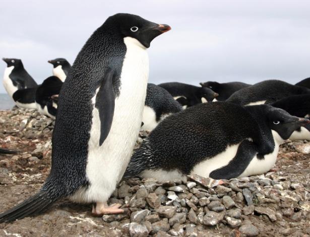 Deslocamento de iceberg faz cerca de 150.000 pinguins morrerem na Antártida