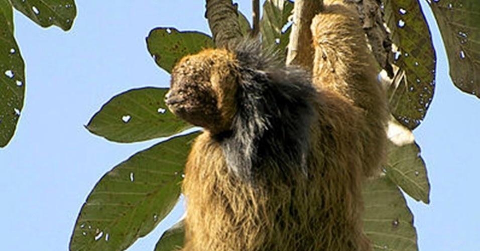 """16.mai.2013 - O bicho-preguiça de coleira (""""Bradypus torquatus"""") está na 61ª posição do ranking do EDGE, a mais alta entre os mamíferos brasileiros. O projeto da Sociedade Zoológica de Londres mapeia as espécies de mamíferos e de anfíbios mais distintas e ameaçadas do mundo"""