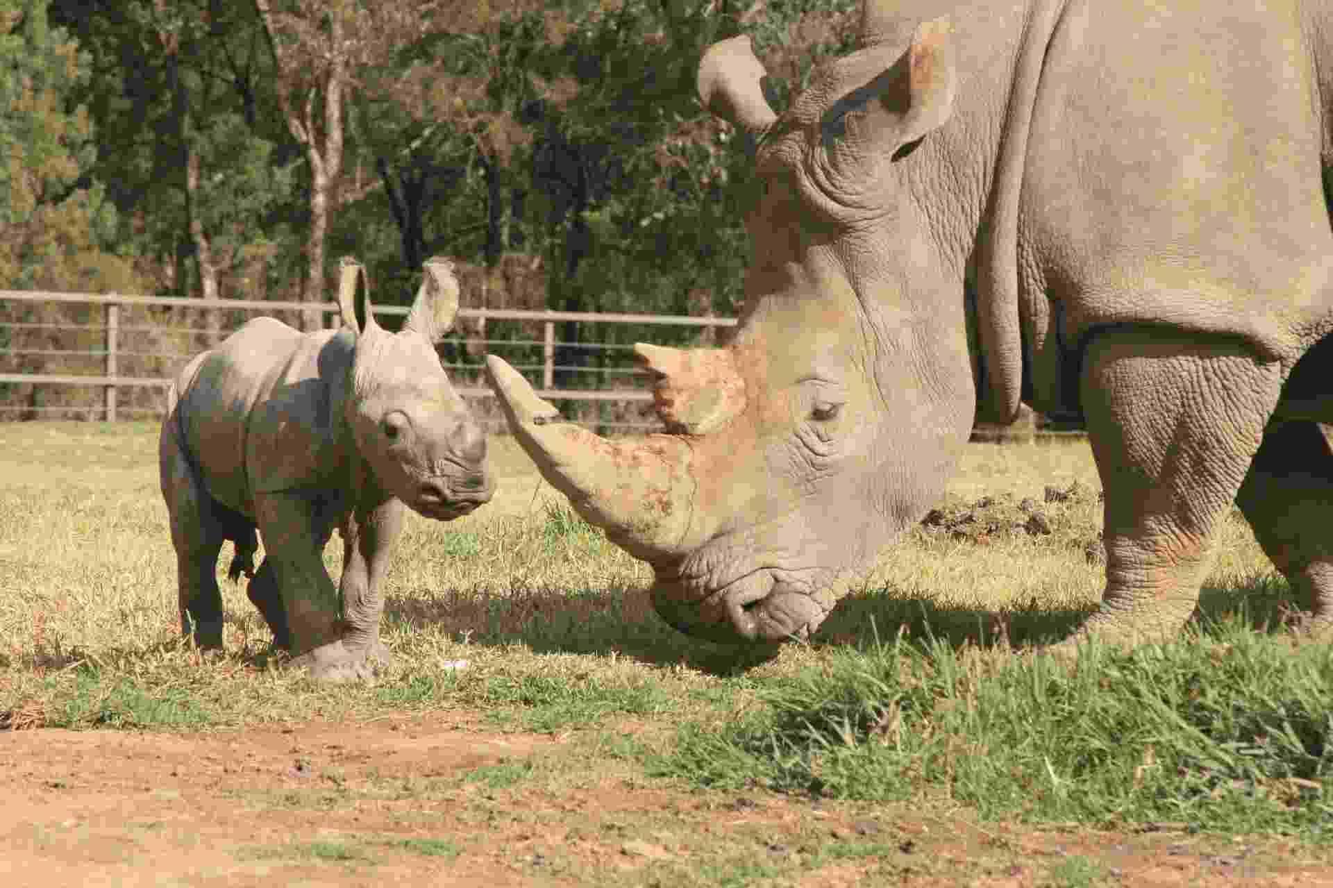 21.mai.2013 - A fêmea Mopani deu à luz um filhote macho saudável no zoológico de Taronga Western Plains, na cidade australiana de Dubbo, a 400 quilômetros de Sydney, no último dia 14 de maio. A mãe contraiu uma doença desconhecida que, no último ano, matou outros quatro rinocerontes brancos no centro. A espécie, que desde 2006 não é encontrada em estado selvagem, é ameaçada de extinção devido ao tráfico ilegal de seu chifre - Taronga Zoo/Reuters