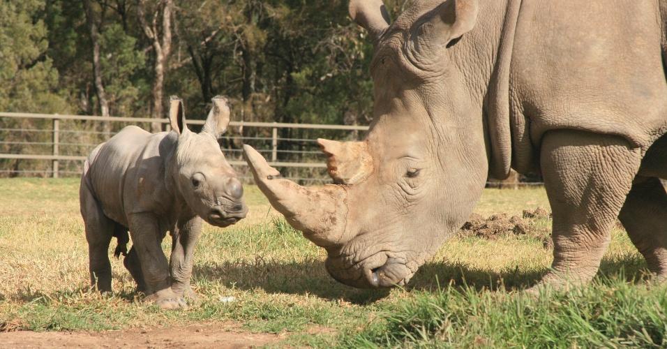 21.mai.2013 - A fêmea Mopani deu à luz um filhote macho saudável no zoológico de Taronga Western Plains, na cidade australiana de Dubbo, a 400 quilômetros de Sydney, no último dia 14 de maio. A mãe contraiu uma doença desconhecida que, no último ano, matou outros quatro rinocerontes brancos no centro. A espécie, que desde 2006 não é encontrada em estado selvagem, é ameaçada de extinção devido ao tráfico ilegal de seu chifre