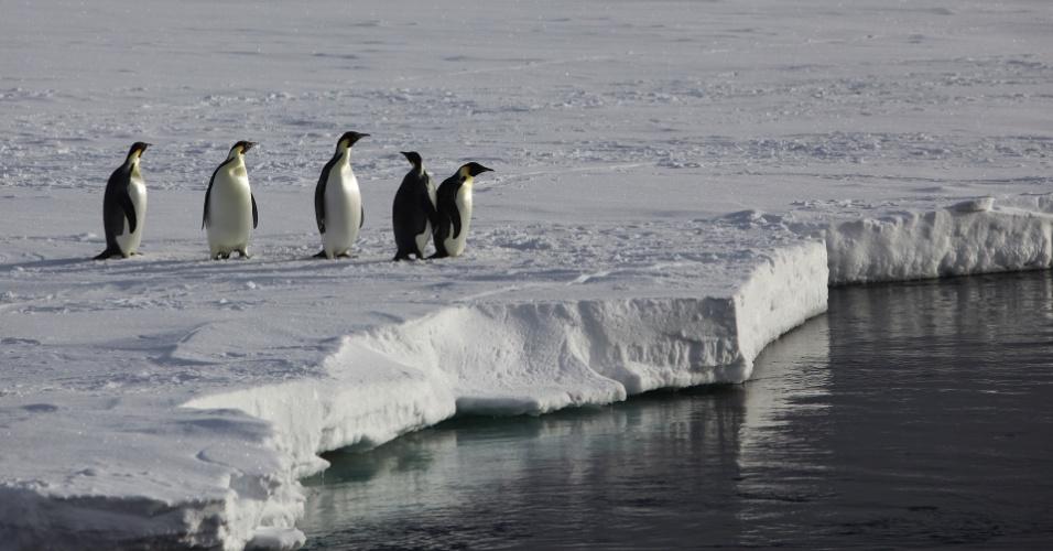 21.mai.2013 - O Imperador é a maior espécie de pinguim do mundo, chegando a pesar cerca de 40 quilos e ter quase um metro de altura na fase adulta. Além disso, eles são um dos melhores mergulhados entre as aves, capazes de ficar cerca de 20 minutos a 450 metros de profundidade