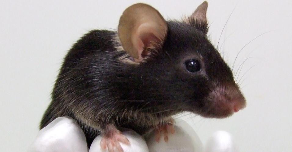 Camundongo (Rato) geneticamente modificado para cantar como um pássaro, em Osaka, no Japão. Pesquisadores da Faculdade de Biociências da Universidade de Osaka realizaram esse feito (21/dez/2012)