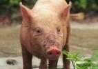 Governo inaugura instalações de quarentena para porcos importados - Shutterstock