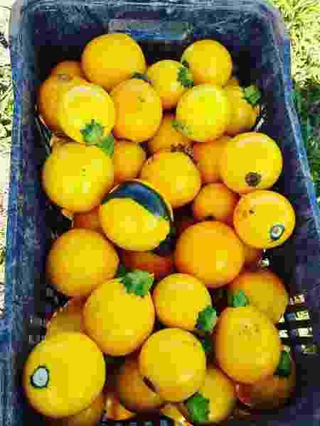 Abobrinha redonda e amarela, do sítio Santa Adelaide - Divulgação - Divulgação