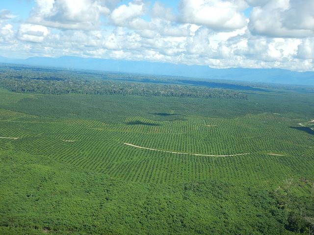 Fazenda de produção de óleo de palma próximo a Yurimaguas, em Loreto. Foto: Terra-i