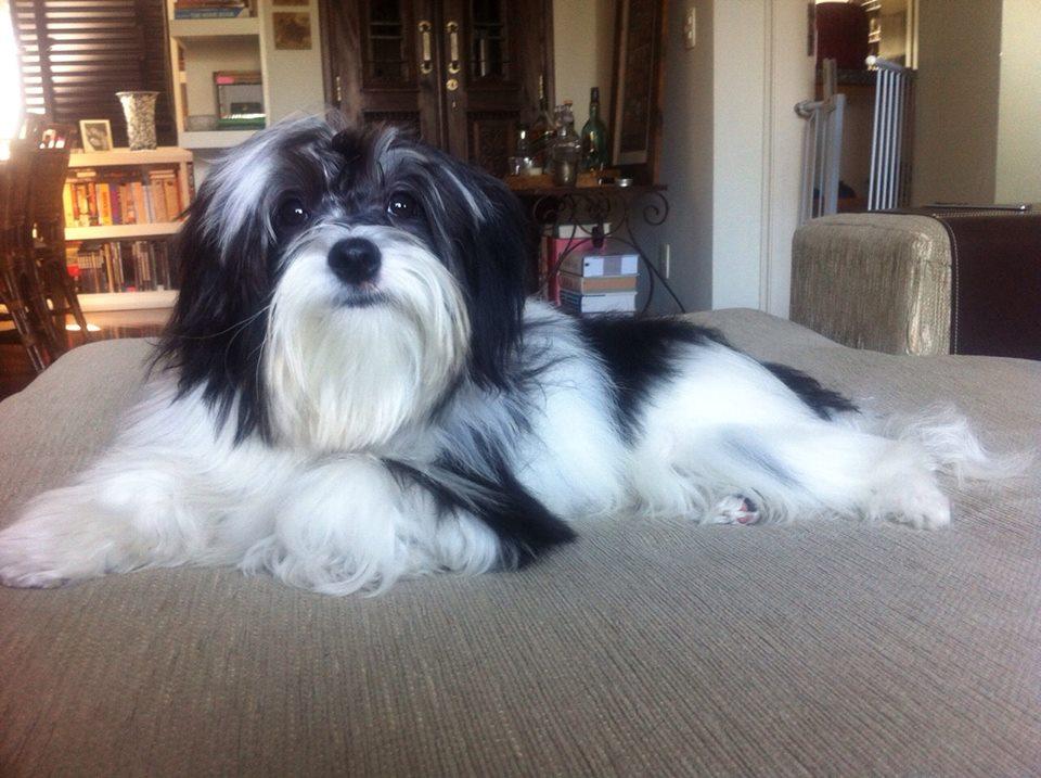 Luke, da raça Bichon Havanês, nasceu no Brasil e é neto de uma cadela que veio de Cuba
