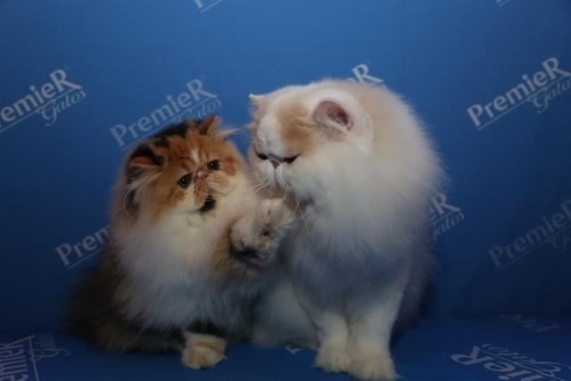 27fev2015---amizade-felina-entre-gatos-exoticos-1425050315584_640x427
