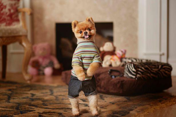 Jiff, da raça Lulu da Pomerânia, é especialista em andar em duas patas