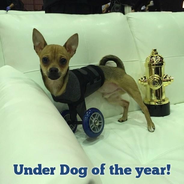 Turbo.Roo, um cãozinho que nasceu apenas com as duas patas traseiras, foi adotado e ganhou rodinhas