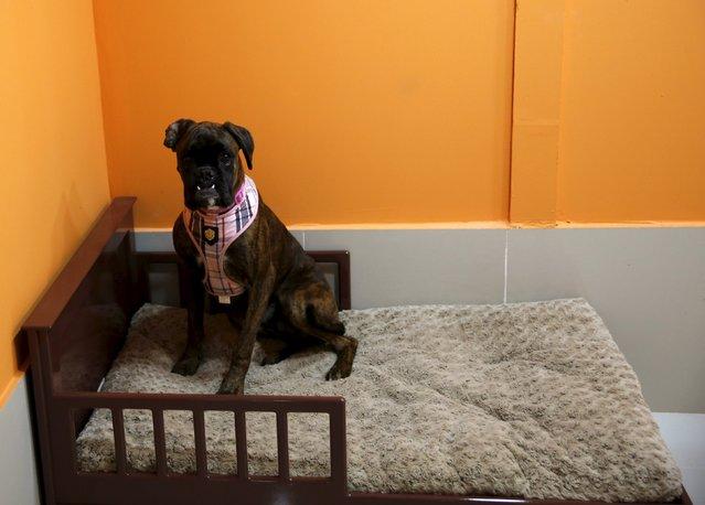 Resort em Dubai tem piscinas, massagem, mordomo, TV e limusine -para cães