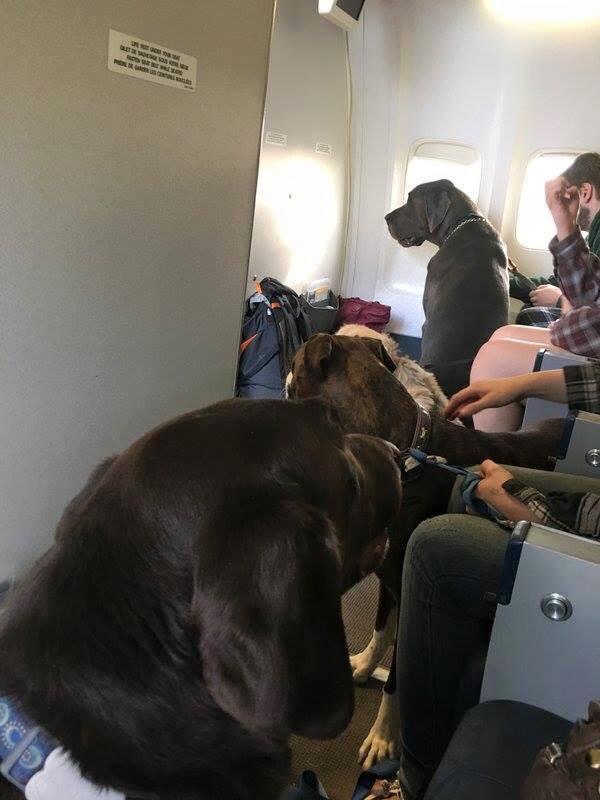 Vários cães a bordo do avião, todos aparentemente calmos - Foto: Facebook/Wanda Murray