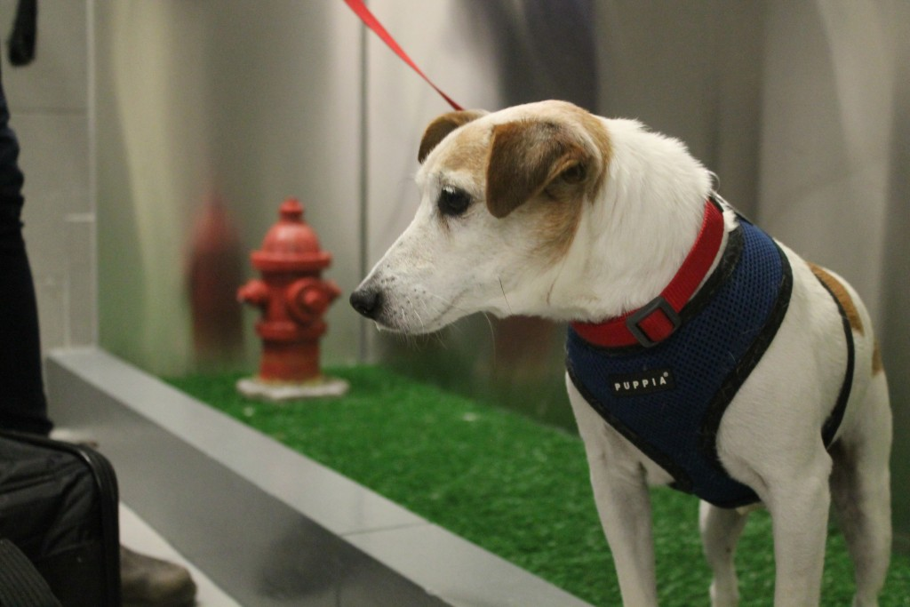 "In this April 26, 2016 photo, John John visits the new pet relief area at New York's JFK airport before he and his owner Taylor  Robbins head home on a flight to Atlanta.    A new ""pet relief"" area has opened in the international air terminal at JFL to help passengers taking their dogs on a long flight. (AP Photo/William Mathis) ORG XMIT: NYR303"
