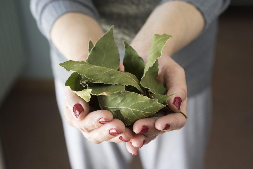 Erva básica, louro é digestivo e fonte de antioxidantes, aprenda a ...