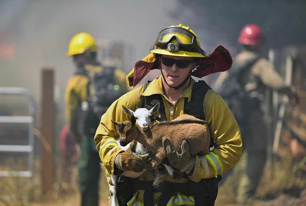 A firefighter rescues goats as flames from a wildfire envelope the area in Lower Lake, Calif., on Sunday, Aug. 14, 2016.  The fire was creating its own weather pattern and shifted northward into Lower Lake in the afternoon, said Suzie Blankenship, a spokeswoman for the California Department of Forestry and Fire Protection. (AP Photo/Josh Edelson)