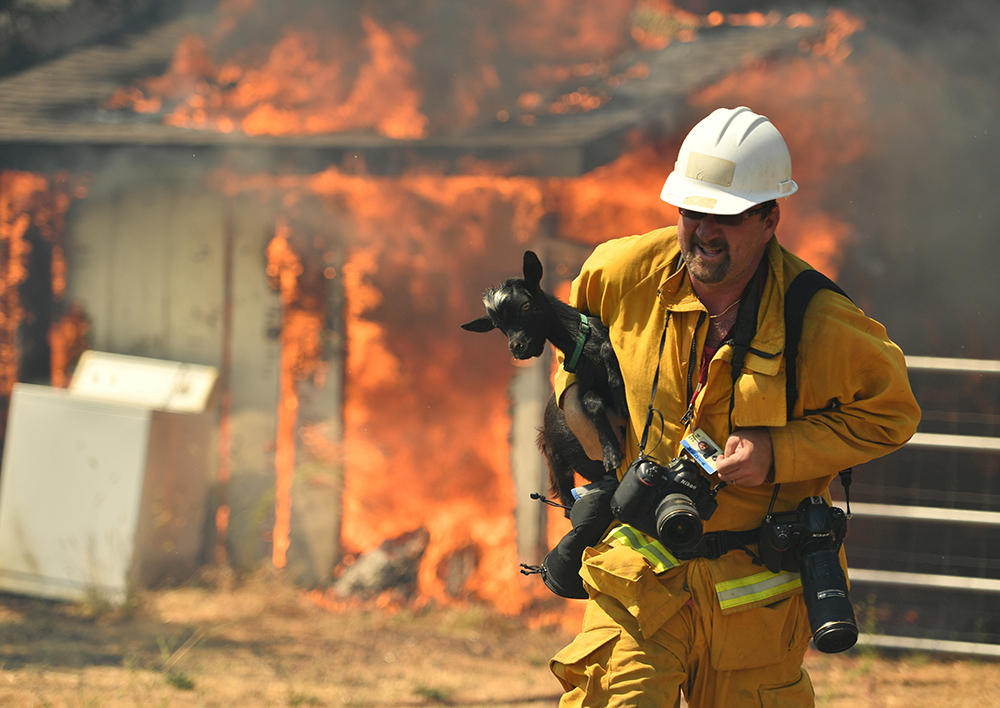Freelance photographer Noah Berger rescues a goat while on assignment for the San Francisco Chronicle as flames envelope a property off of Bonham Road near Lower Lake, Calif. on Sunday, August 14, 2016. Flames continue to burn out of control in the area. A blaze raging through dry vegetation in Northern California has jumped a containment line, setting several houses on fire and prompting firefighters and volunteers to evacuate horses, goats and other animals as homes burn around them. (AP Photo/Josh Edelson)