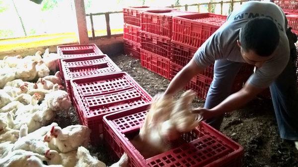 A apanha de frango é uma atividade realizada por companhias terceirizadas pelos frigoríficos, que seguem um rígido cronograma de trabalho