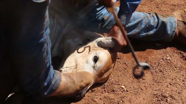 Gado é identificado com ferro quente em seu rosto. Foto: Piero Locatelli/Repórter Brasil