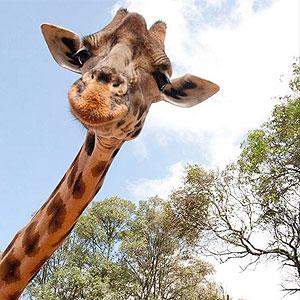 Girafa exibida no perfil original; 'perdedores' podem escolher fotos diferentes do animal