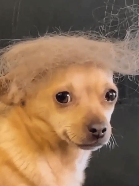 """""""Para Gracie, eu voto sim"""", comentaram internautas sobre o vídeo de cachorro fantasiado de Trump - Reprodução/Instagram"""