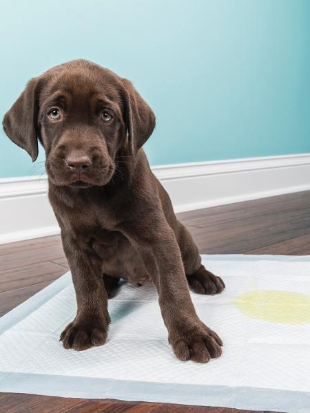 Já ouviu falar no educador sanitário? Veja produtos para ajudar o cachorro a fazer as necessidades no lugar certo - Reprodução/GettyImages