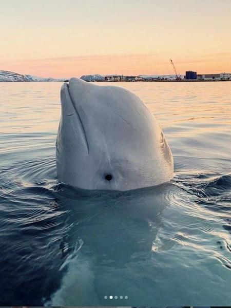 A baleia Hvaldimir apareceu em águas norueguesas no início de 2019 - Reprodução/Instagram