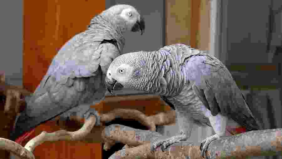Agora os papagaios-cinzentos serão colocados em espaços distantes para evitar a reprodução das falas problemáticas - Bernd Settnik/picture alliance via Getty Images
