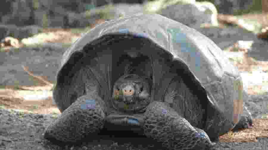 Espécime da tartaruga-das-galápagos da Ilha Ferdinanda encontrado no Equador - Divulgação/Parque Nacional das Galápagos