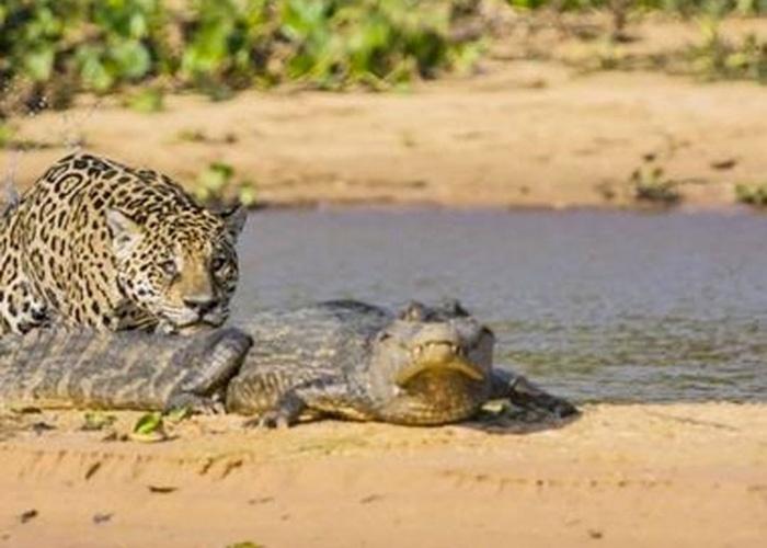 3.jul.2014 - Uma gravação feita no Pantanal brasileiro flagrou o momento em quem uma onça ataca um jacaré, que estava tomando sol, pelas costas. As imagens mostram quando o felino vem pela água e surpreende o réptil, que tenta fugir, mas a onça crava suas presas no couro do animal e o leva embora. Clique no link 'Mais' e confira o vídeo.