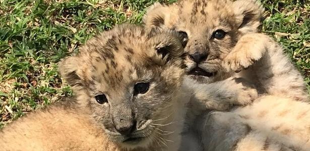 os filhotes de leão Isabel e Victor