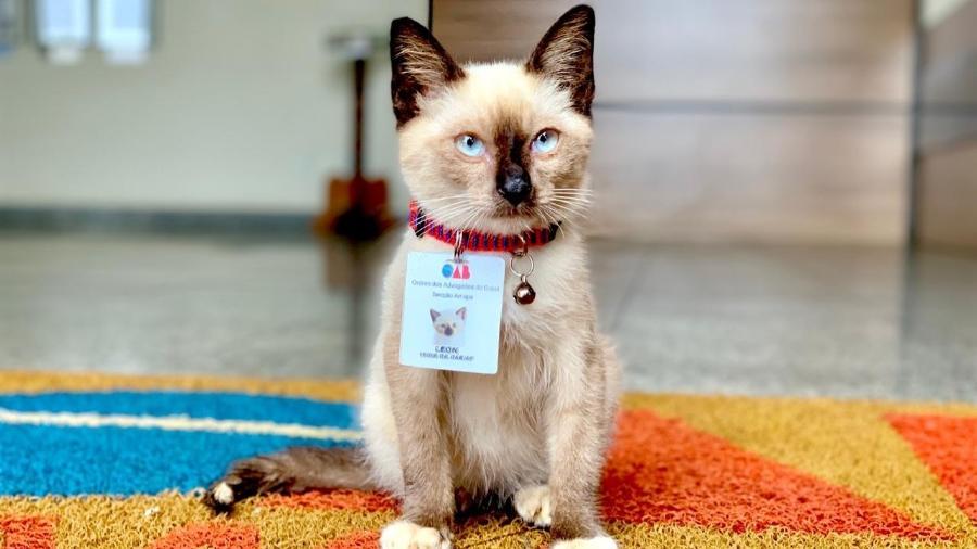 """O gatinho Leon foi adotado e virou """"funcionário"""" da OAB do Amapá - Reprodução/Auriney Brito"""