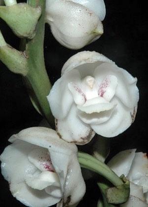 Reprodução/RVO's Orchid Talk