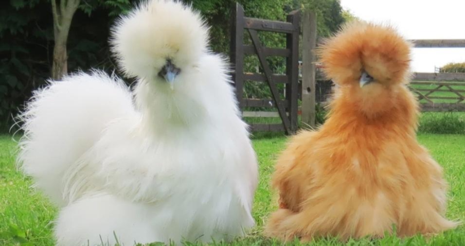 24.  Parece o Garibaldo, mas é uma galinha silkie, conhecida também como sedosa