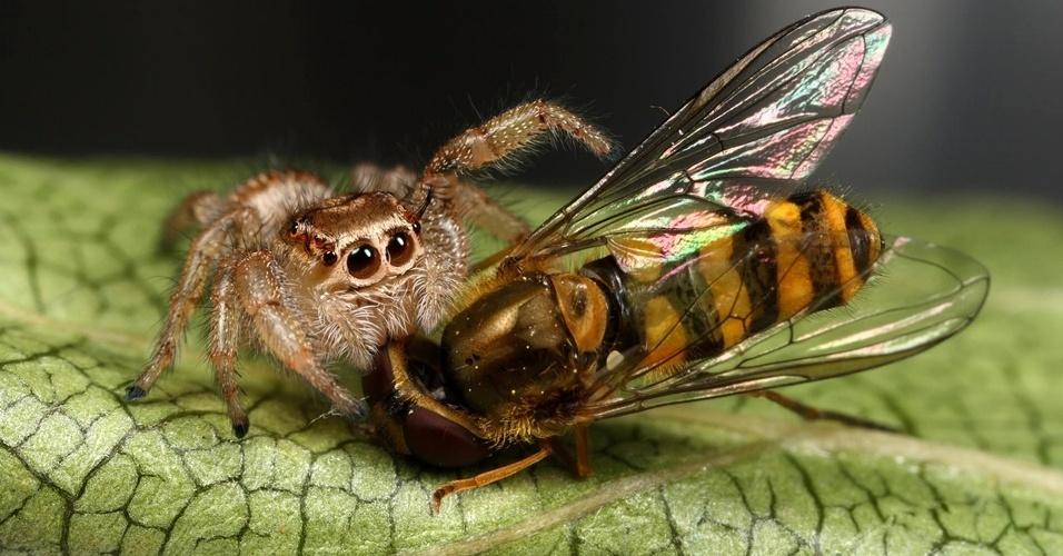 """8. A expressão """"papos de aranha"""" é, na verdade, """"palpos de aranha"""". Palpos, ou pedipalpos, são apêndices móveis na cabeça das aranhas. Por isso, """"estar em palpos de aranha"""" quer dizer que se está prestes a ser devorado"""
