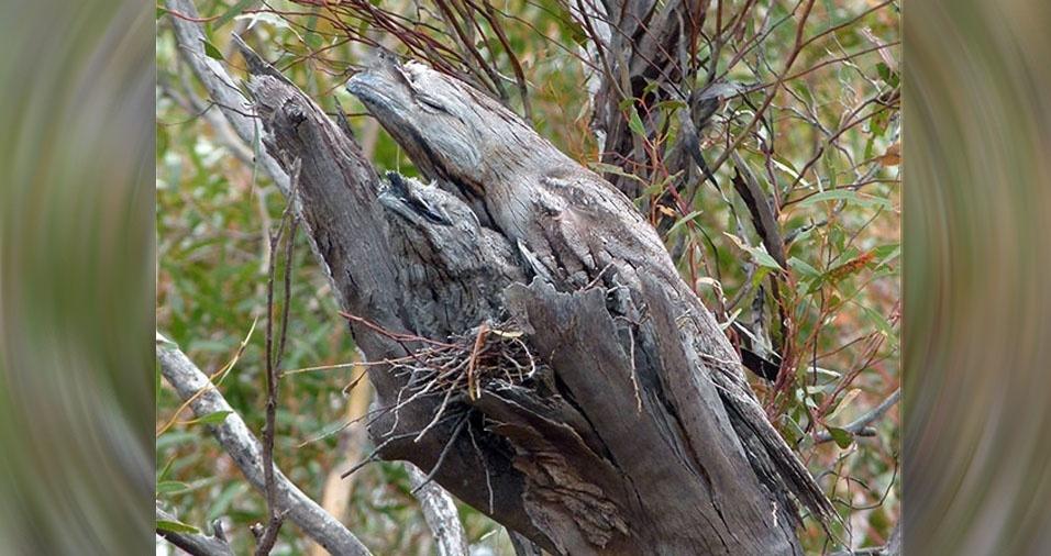 4. Urutaus nas árvores