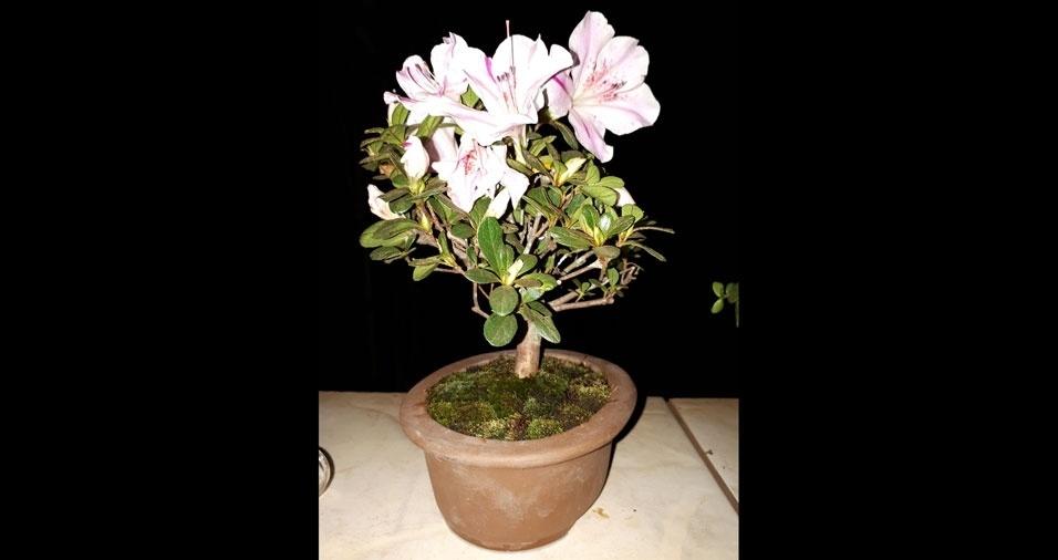 Nilson Zaia, de Centenário do Sul (PR), enviou foto do bonsai de Azaleia que cultiva
